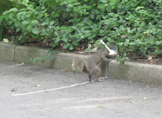 Squirrel eating ice cream!