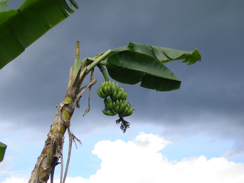 On the far side of this tandan of bananas are rain clouds